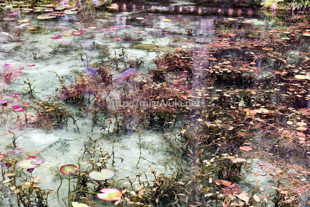 「睡蓮」モネの池